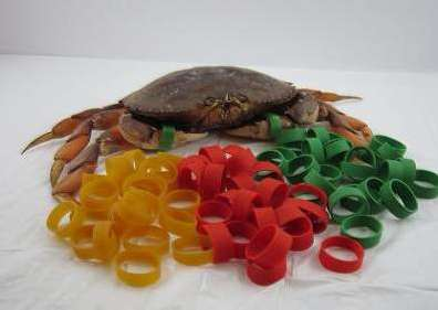Crab Rubber Bands